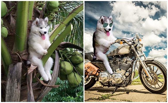 Hindistan Cevizi Ağacına Çıkan Husky İçin Yapılmış 18 Komiklik Abidesi Fotoşop