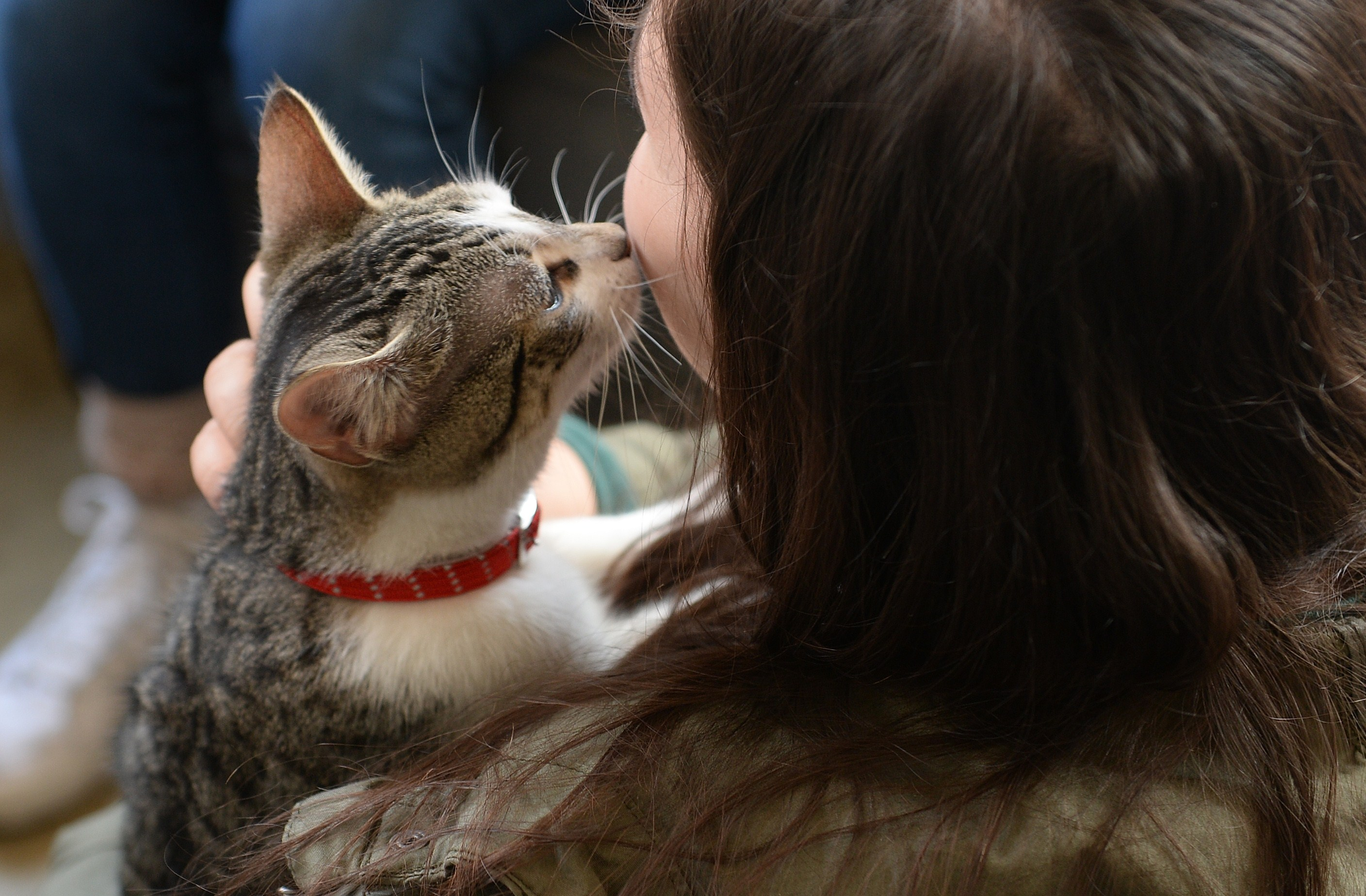 "A visitor pets a cat at the pop-up ""Cat cafe"", a cafe where patrons can interact and adopt cats, in New York, April 25, 2014. Cat Cafe, a pop up cafe which opened for only four days until April 27, 2014, allows visitors to have a coffee and interact with 21 cats and adopt one if they want. AFP PHOTO/Emmanuel Dunand (Photo credit should read EMMANUEL DUNAND/AFP/Getty Images)"