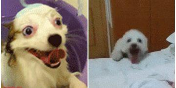 Sevinçten Ne Yapacağını Şaşıran 14 Aşırı Heyecanlı Köpek Ve Sevimli Halleri