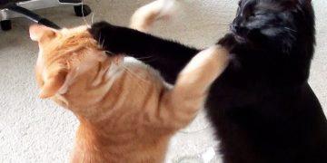 Evde Kavga Eden Kedilerinizi Nasıl Ayırabilirsiniz?