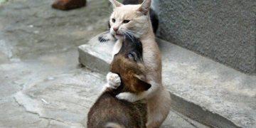 Kedileri ve Köpekleri Birbirine Alıştırma Konusunda İzlemeniz Gereken 12 Bilgilendirici Adım
