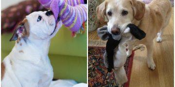 Burnu Çekmecelerden Ve Çamaşır Sepetlerinden Çıkmayan 24 Çorap Sevdalısı Köpek