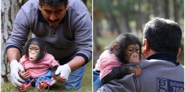 """Bakıcısı Nedim Aslan'ı Annesi Zanneden Öpülesi Yavru Şempanze """"Can"""""""