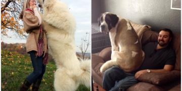 Büyük Köpek Sahiplerinin Yaşadıklarını Anlatan 19 Eğlenceli Fotoğraf