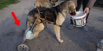 Yolda Ezilen ve Vurulan Köpeğe Pazar Arabasından Yürüteç Yapan Koca Yürekli Kadın