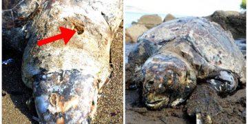 Utanıyoruz: Bodrum'da Başından 3 Kurşunla Vurulup Öldürülen Caretta Caretta…