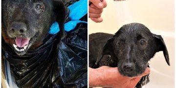 Çöp Poşetinin İçine Konulup Barınağa Terk Edilen 10 Yaşındaki Hüzünlü Köpek