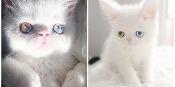 Dünyanın En Güzel Gözlerine Sahip Minnak Kedisi Pam Pam'dan Büyüleyici Fotoğraflar