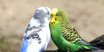Öğrenelim: Muhabbet Kuşlarının Çiftleşme İsteği Nasıl Anlaşılır?