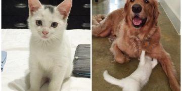 Öksüz Yavru Kediye Hem Analık Hem de Babalık Yaparak Büyüten Koca Yürekli Köpek
