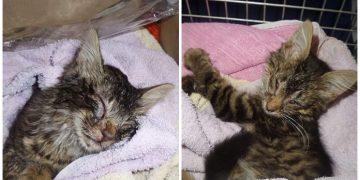 Ölmek Üzere Olan Yavru Kediye Sevginin İyileştirici Gücüyle Yardım Eden Çift