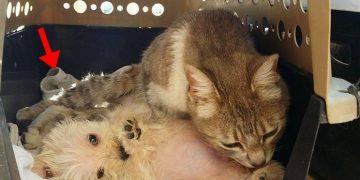 Köpeklerin Yaralamasına Rağmen Yavru Köpeklere Annelik Yapan Kedi
