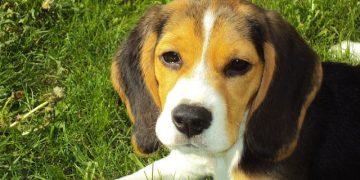 Köpeklerde Kene ve Pireden Korunmanın Yolları