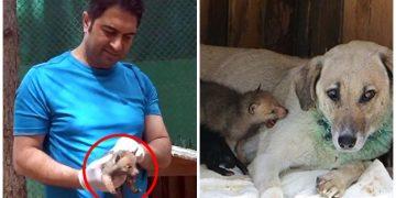 Öksüz Kalan Yavru Kurtları Emziren Koca Yürekli Anne Köpek