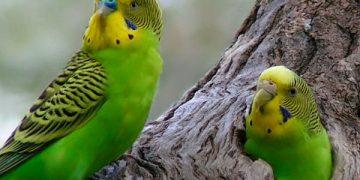 /Öğreniyoruz: Muhabbet Kuşunu Elimize Nasıl Alıştırırız?
