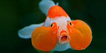 Japon Balıkları Nasıl Beslenmelidir? Nelere Dikkat Etmek Gerekir?