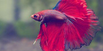 En Popüler 16 Akvaryum Balığı