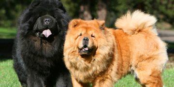 Çin Aslanı Bakımı ve Özellikleri Hakkında Bilmeniz Gereken 15 Şey