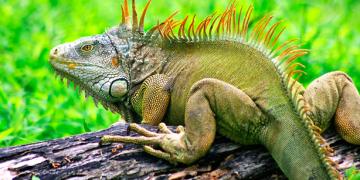 Evde İguana Besleyeceklere 6 Hayat Kurtarıcı Öneri