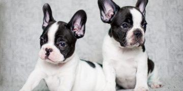 Fransız Bulldog Özellikleri ve Bakımı Nelerdir?