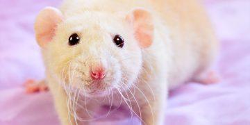Hamster Kaç Yıl Yaşar?