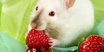 Cevaplıyoruz: Hamsterlar Ne Yer?