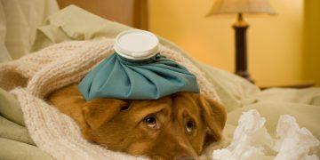 Köpeklerde Burun Tıkanıklığı Giderme?