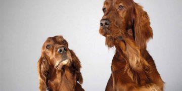 İngiliz Cocker Spaniel Köpeklerin Özellikleri ve Bakımı Nelerdir?