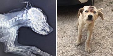 Kafasında Kocaman Bir Delikle Ölüme Terk Edilen Köpeğin Hüzünlü Kurtarılma Hikayesi