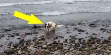 Köpek Telaş İçinde Denize Koştu ve Sahibi Nedenini Öğrenince Gözlerine İnanamadı