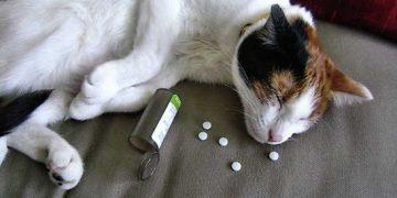 Kedilerde Sık Karşılaşılan Zehirlenme Vakaları Ve Belirtileri