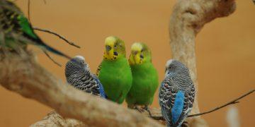 Muhabbet Kuşu İçin Yem Seçerken Nelere Dikkat Etmeliyiz?