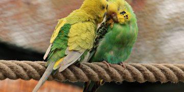 Muhabbet Kuşlarının Çiftleşme İsteği Nasıl Fark Edilir?