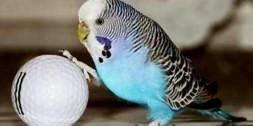 Muhabbet Kuşu Bakımı ve Besleme Bilgileri