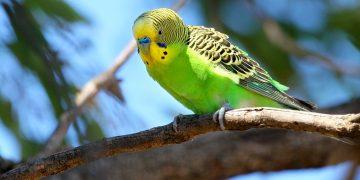 Muhabbet Kuşunuzu Konuşturmak İçin İzlemeniz Gereken Adımlar
