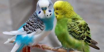 Öğrenelim: Muhabbet Kuşu Nasıl ve Ne Sıklıkla Yıkanmalıdır?