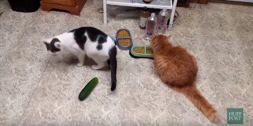 Hayatında İlk Defa Salatalık İle Karşılaşan Kedilerin Aşırı Minnoş Halleri