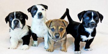 Köpeklerde Üreme: Köpeklerin Yıllık Üreme Sayısı