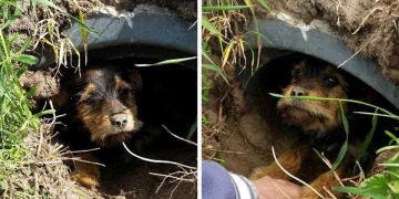 Yaralı Bacağıyla 1 Ay Boyunca Acı Çeken ve Bir Delikte Yaşamaya Çalışan Köpeğin Hikayesi
