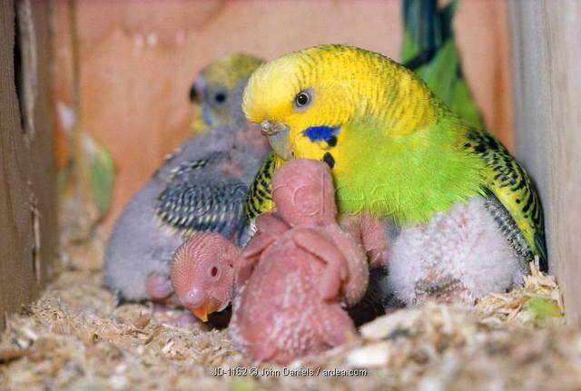 Muhabbet Kuşlarında Yumurtlama