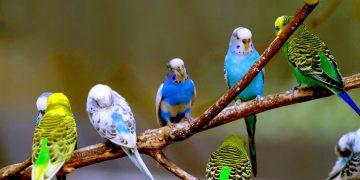 Cevaplıyoruz: Muhabbet Kuşlarında Yumurtlama Süreci