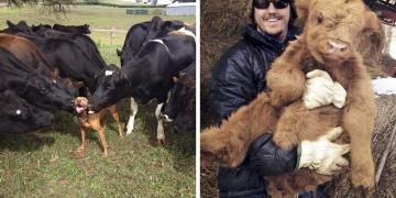İneklerin Aslında Büyük Köpekler Olduğuna Kanıt 26 Şirin Fotoğraf