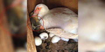 Anne Ördeğin Güvenliği İçin Yumurtalarını Kontrol Eden Adam Sürprizle Karşılaştı: Yumurtaların Yanında Minnoş Biri Var