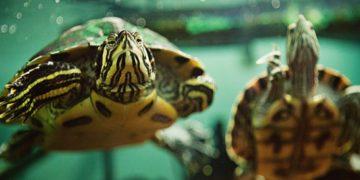 Hibernasyon: Su Kaplumbağalarında Kış Uykusu