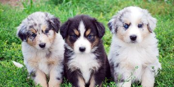 Avustralya Çoban Köpeği Hakkında Öğrenilmesi Gereken 20 Şey
