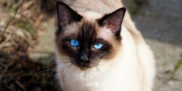 Balinese Cinsi Kedilerin Bakımı ve Özellikleri Hakkında Bilmeniz Gereken 17 Şey