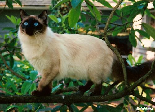 Balinese Kedi