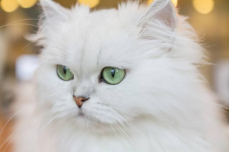 Chinchilla kedi