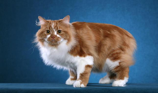 Cymric kediler