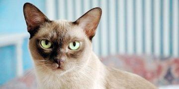 European Burmese Cinsi Kedilerin Özellikleri ve Bakımı ile ilgili bilmeniz gereken 15 şey